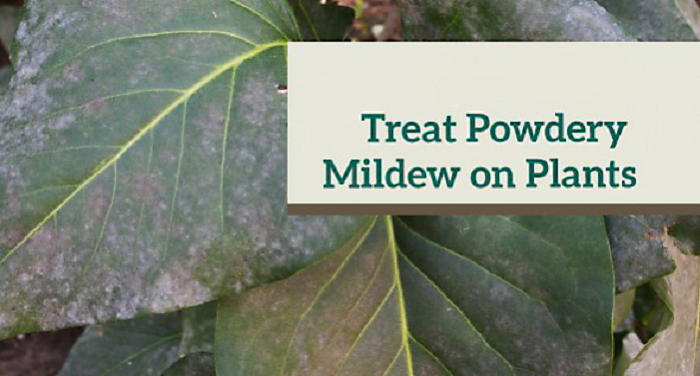Home remedies for powdery mildew