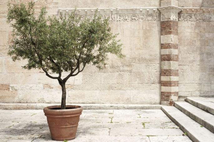 Methods of growing olive trees in pots