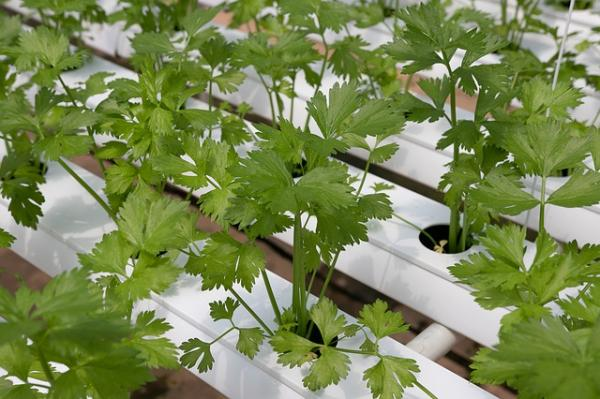How to plant cilantro