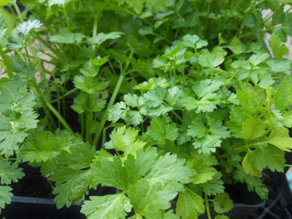 How to plant cilantro and grow it