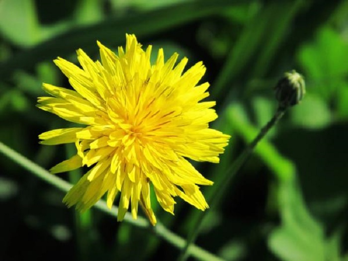 How is the dandelion plant and what is it used for?