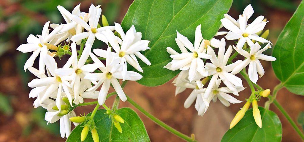 types of jasmine