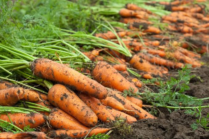 How and when to harvest carrots at home