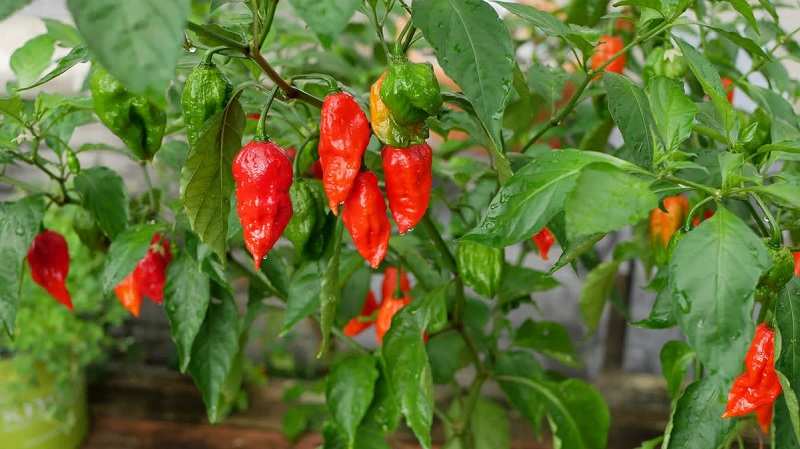 How to Grow Ghost Chili Indoors