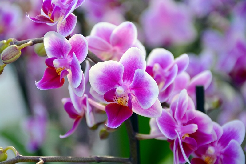 How to orchids grow and how they bloom spontaneously