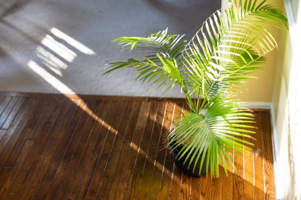 Areca Palm care and usage: The Bamboo palm