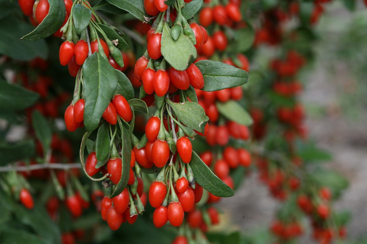 Steps on growing goji berries in your garden