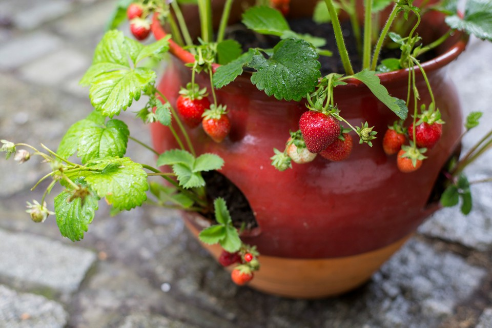 How to grow strawberries in pots?