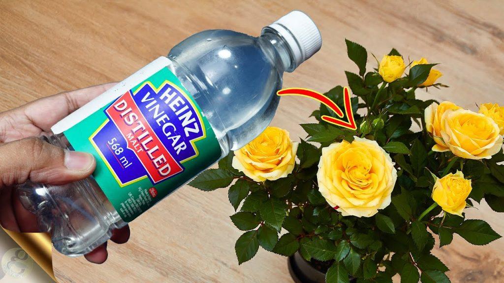 Is vinegar good for hydrangeas