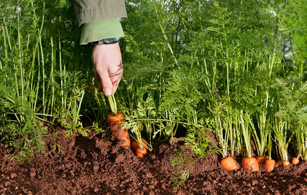 How to plant carrots in your small garden?