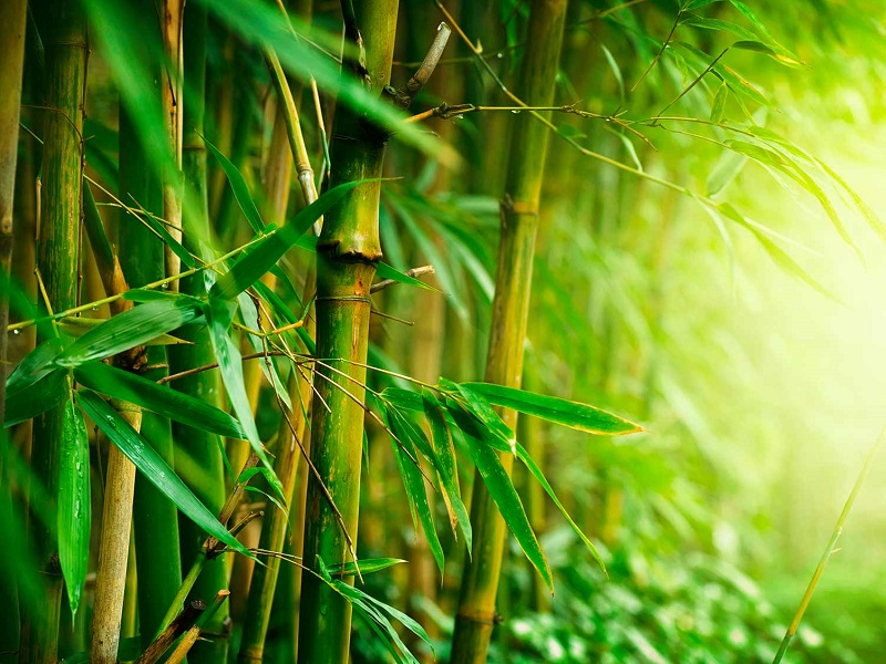 How to plant bamboo in the garden or at home