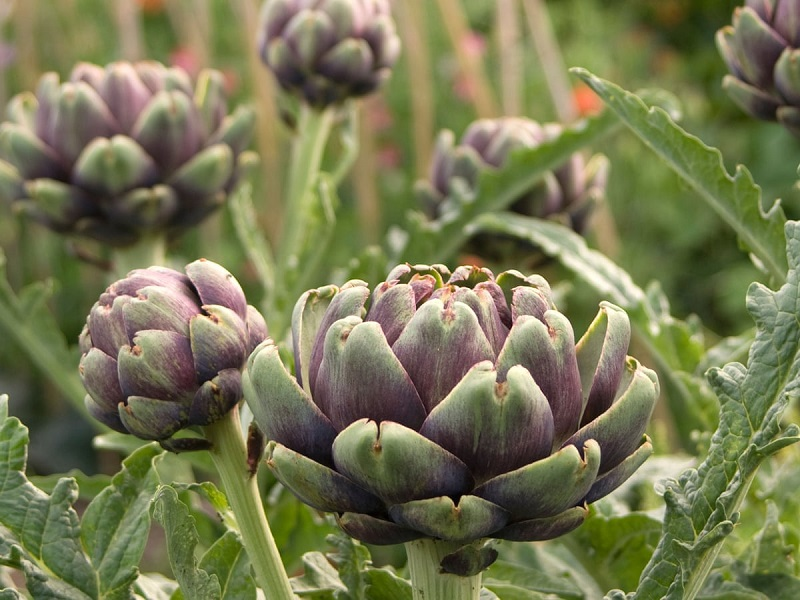 How to grow artichoke plant: a guide with useful information